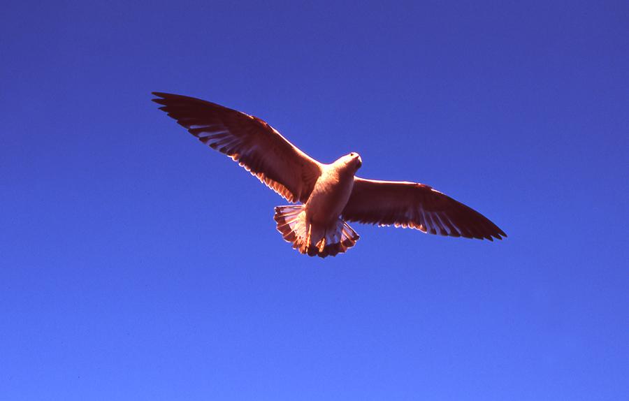 seagull photos. bird photography. color slide film. 35mm film. blue sky. saturated. bird flying. beach birds. water fowl.