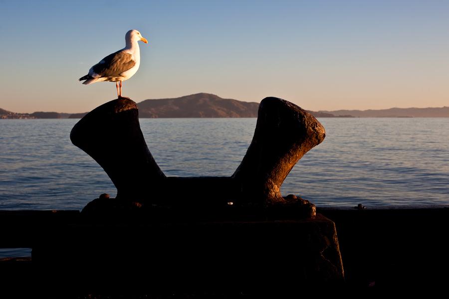 seabird. alcatraz.