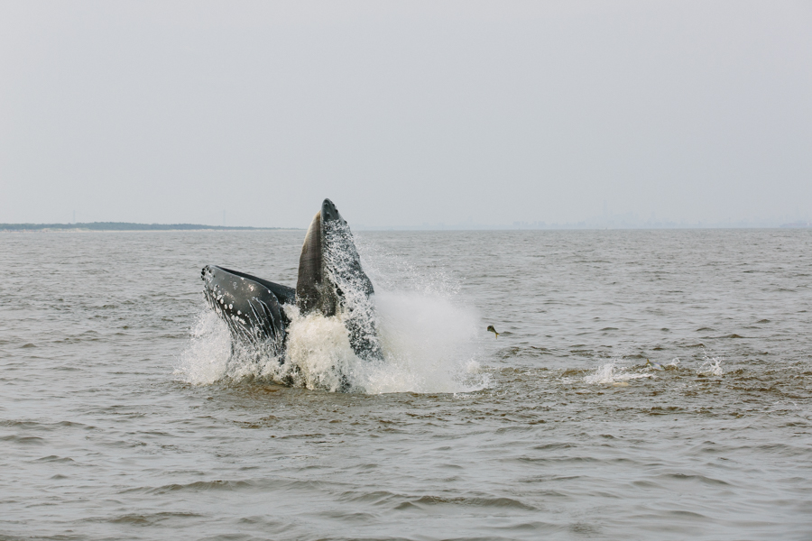 whale feeding on bunker